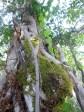 Vine-covered tree trunk outside Luwingu.