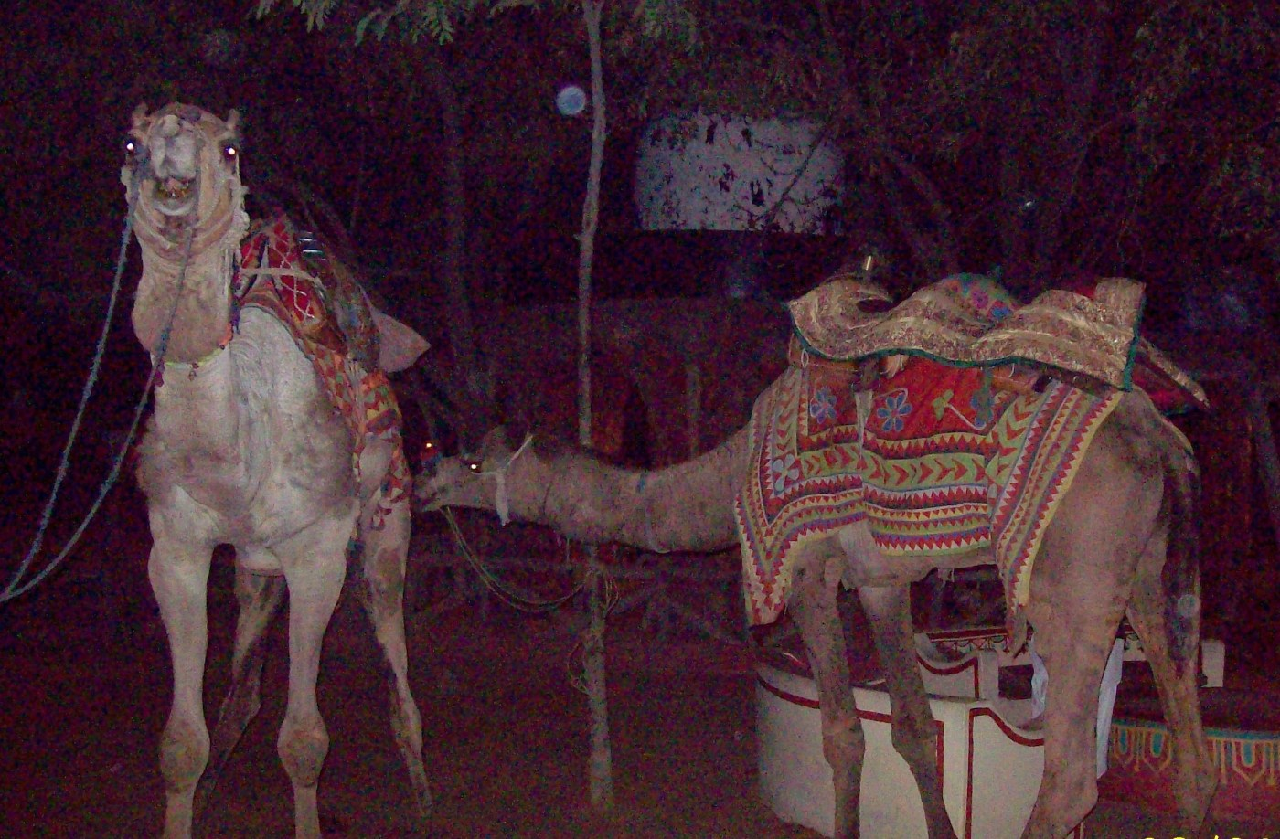Camels in chowki dhani, jaipur India