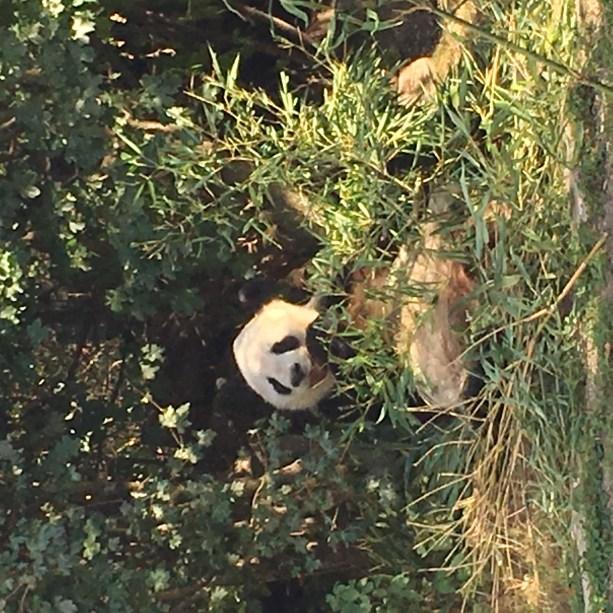 panda at tiergarten zoo