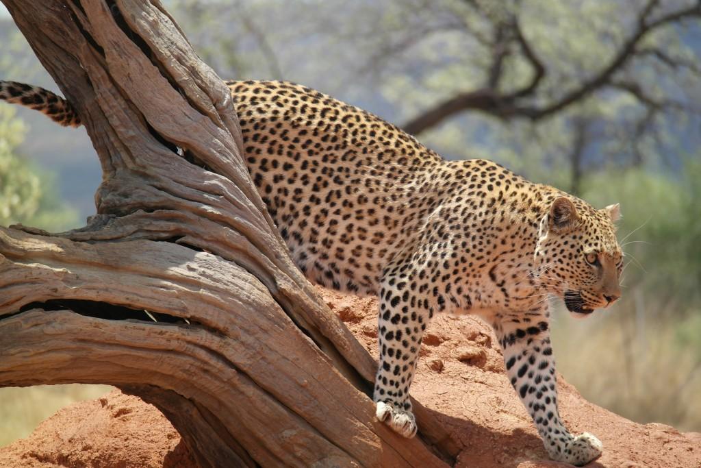 Leopard at Play at AfriCat