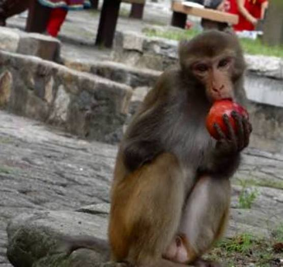 monkey with apple