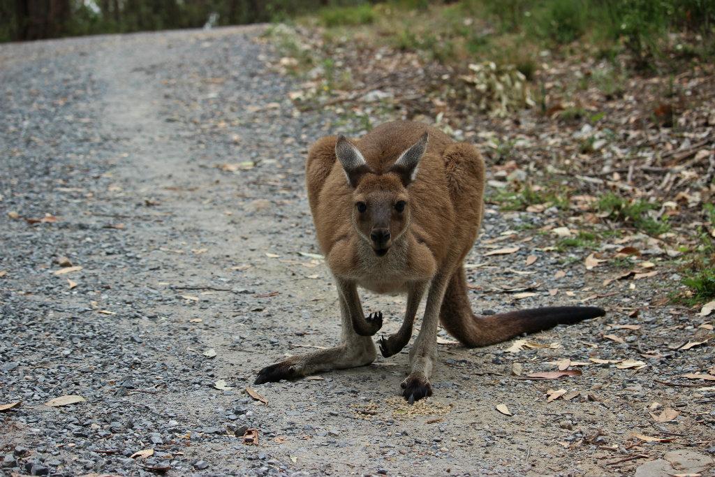 Kangoeroe, Cleland National Park, Barossa Valley