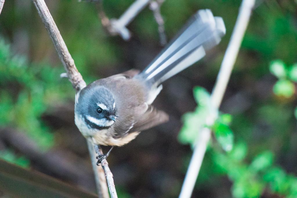 Fantail   Vogel   Nieuw-Zeeland