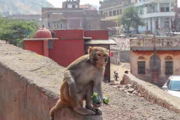 best places to see in Jaipur Monkey Temple