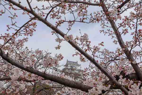 best place for Cherry Blossoms in Japan, himeji Castle Cherry Blossom