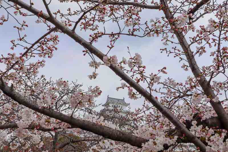 Visiting Himeji Castle Cherry Blossom