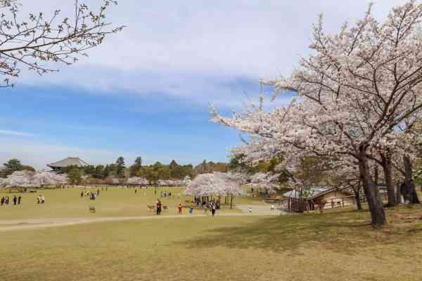 Nara park Cherry Blossoms