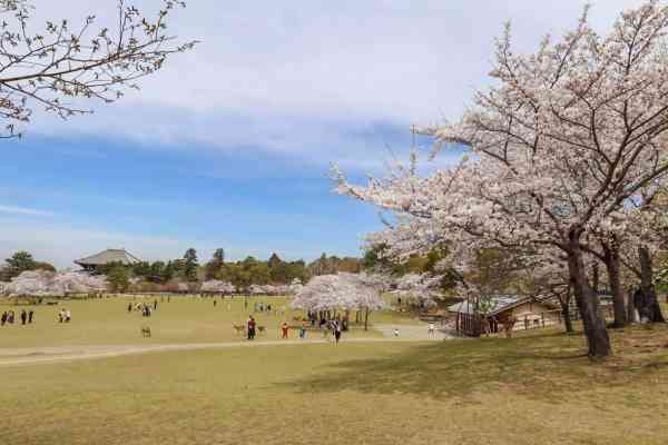 best place for Cherry Blossoms in Japan, Nara park Cherry Blossoms