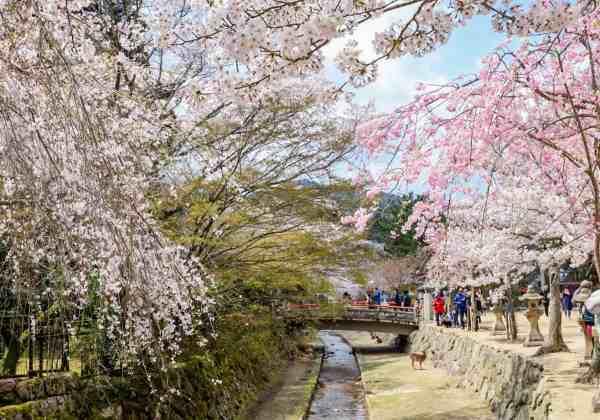 Miyajima island cherry blossoms in bloom japan