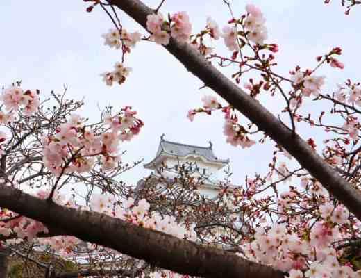 cherry blossom himeji Castle Japan