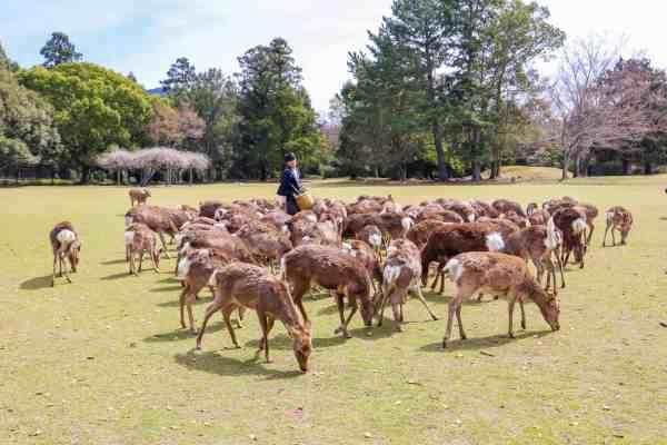 2 week japan itinerary, things to do in nara deer