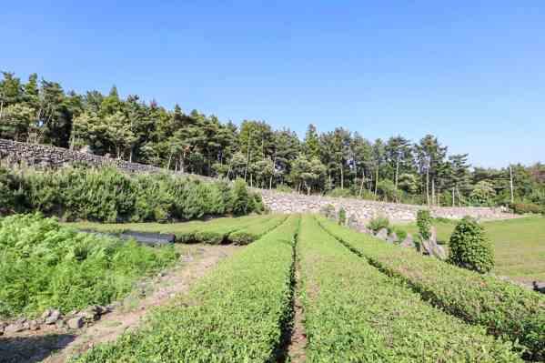 jeju island green tea fields