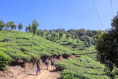 Tea Plantations in Munnar Kerala