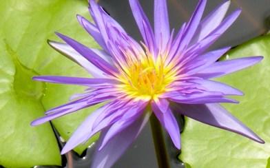 A Second Manel Flower