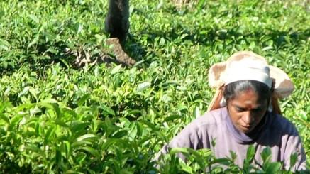 Quintessential Sri Lanka - the tea plucker, Kelburne