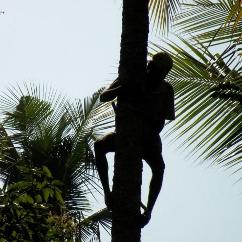 The Coconut Plucker