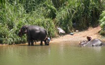 Elephants love water - they drink 140 litres a day. Domesticated elephants must be bathed to maintain healthy skin.