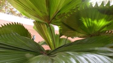shots around a fan palm 2
