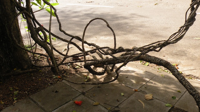 Aerial Gardens & Visible Roots - Twisty Vine, Alfred House Gardens 1
