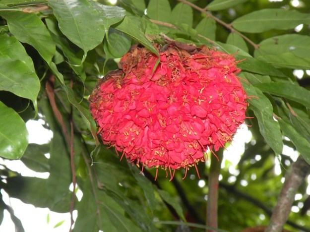 Brief, the Asoka Tree flower (Saraca indica) -