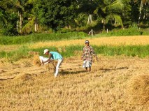 Harvest Time and the Maalu Man 6