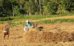 Harvest Time and the Maalu Man 9