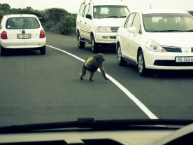 Don't mind the baboon. She's just crossing the street.