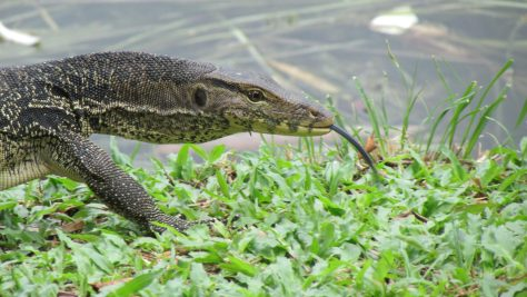 Freely roaming Monitor Lizard in Titiwangsa Park