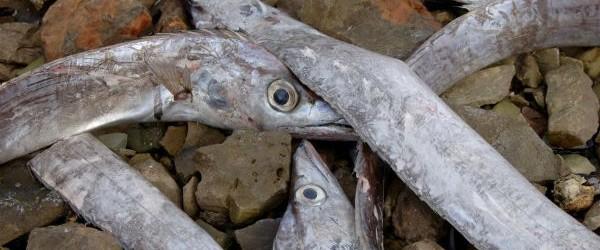 Varios cientos de peces inusual, alrededor de un metro y medio de largo, varada en las costas de Valelunga playa cerca de Pula, Croacia en el Mar Adriático en February 4/5, de 2013, el mismo día en que M 4,5 sacudió la región.  Varios cientos de peces, que pueden vivir como muerto.  Los testigos estaban tratando de volver a las aguas más profundas, pero el pescado estaba constantemente regresando.  Según el biólogo Neven Ivesa, es probablemente trahypterus Trahipterus, también conocido como el pez espada, que por lo general viven en una profundidad de 200 a 500 metros y muy rara vez sale a la superficie.  Ivesa dijo que era ...