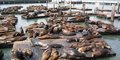 """The mass stranding of sea lions at Californian shores doesn't seem stopping anytime soon and condition has deteriorated even more. The stranding(s) spiked in January and have intensified in recent weeks, the numbers have already surpassed total number of an average year. By March 13th, there were 517 pups admitted to marine mammal rehabilitation centers and by April 4, the number has risen to1100Wired. Authorities still don't know what is the exact cause of the stranding. NOAA's marine mammal stranding coordinator for the state of California,Sarah Wilkinsaid, """"We're still getting strandings of animals at kind of equal rates to what..."""