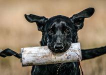training a hunting dog