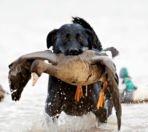 mississippi duck hunting guides