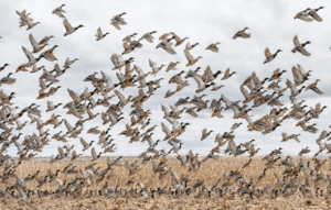 North Dakota Duck hunting guides