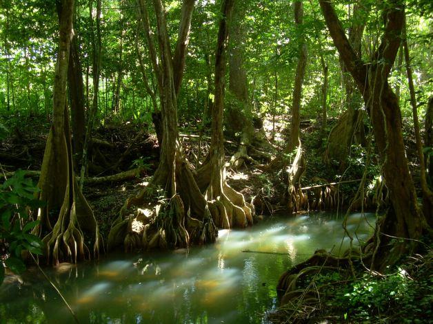 dominica-mangrove