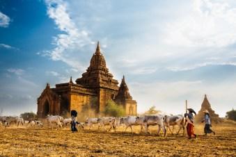 Cowherding amongst the temples in Bagan, Myanmar, May 2014.