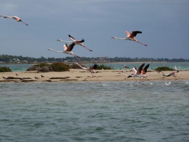 flamingos at Ria Formosa Nature Park
