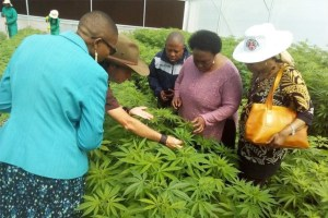 US Corp Cashes in as Lesotho Becomes the First African Country to Legalise Cannabis Cultivation