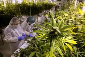 Canada's licensed marijuana producers and applicants soar past 700