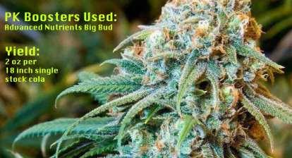 pk boosters big bud nutrients