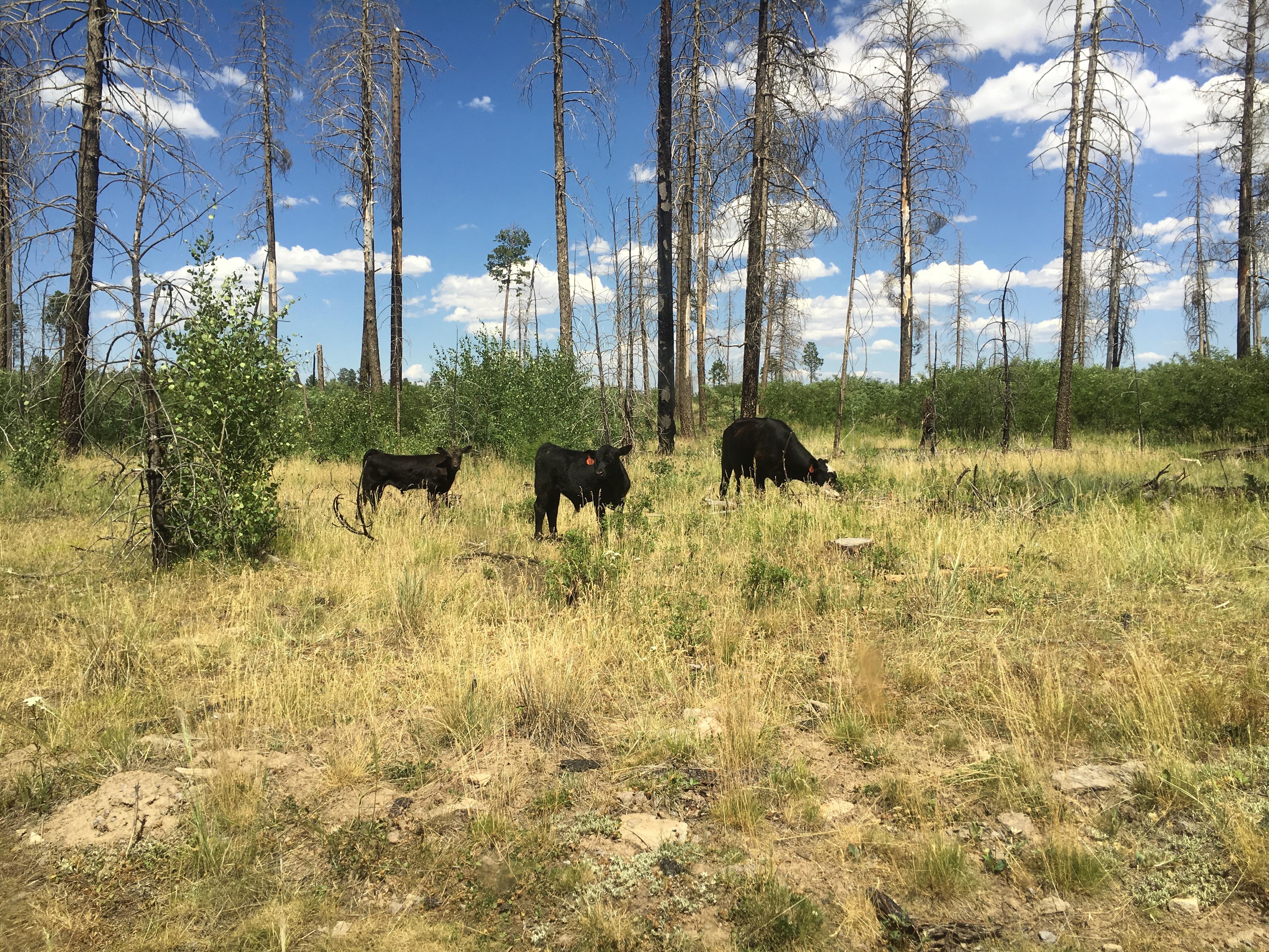 new mexico random cows