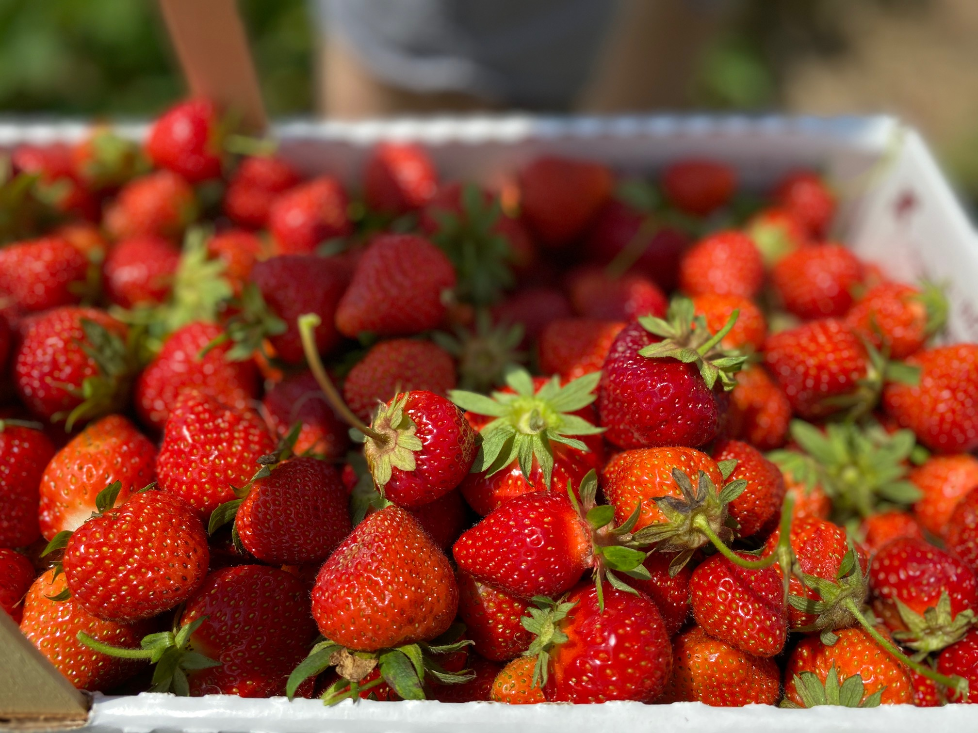 Enjoy the best of summer safely by Strawberry Picking at Jones Family Farm in Shelton, Connecticut. Check out more about this family-friendly activity.