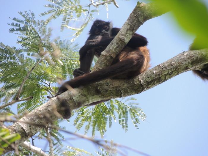 Monkeys at Punta Laguna Nature Reserve - 48 Hours in Tulum | TheWeekendJetsetter.com