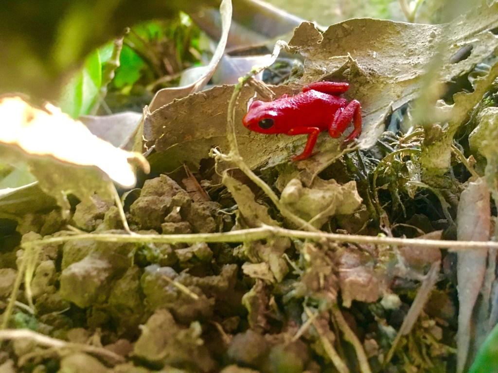 Red Frog, Isla Solarte, Bocas del Toro | TheWeekendJetsetter.com