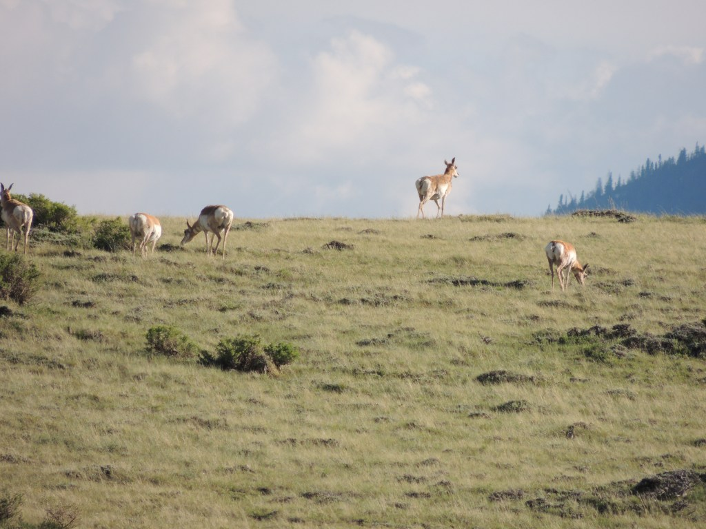 Pronghorns, Wyoming | TheWeekendJetsetter.com