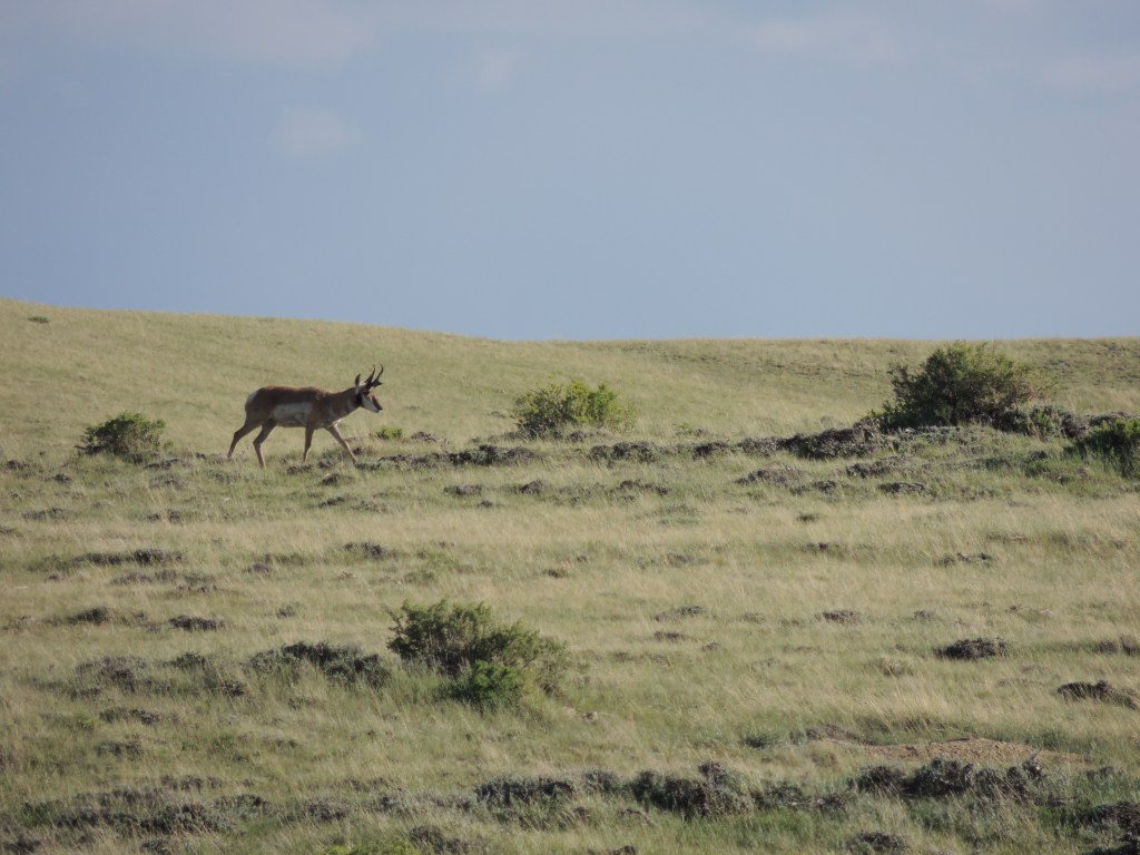 Pronghorns, Wyoming | TheWeekendJetsetter.com