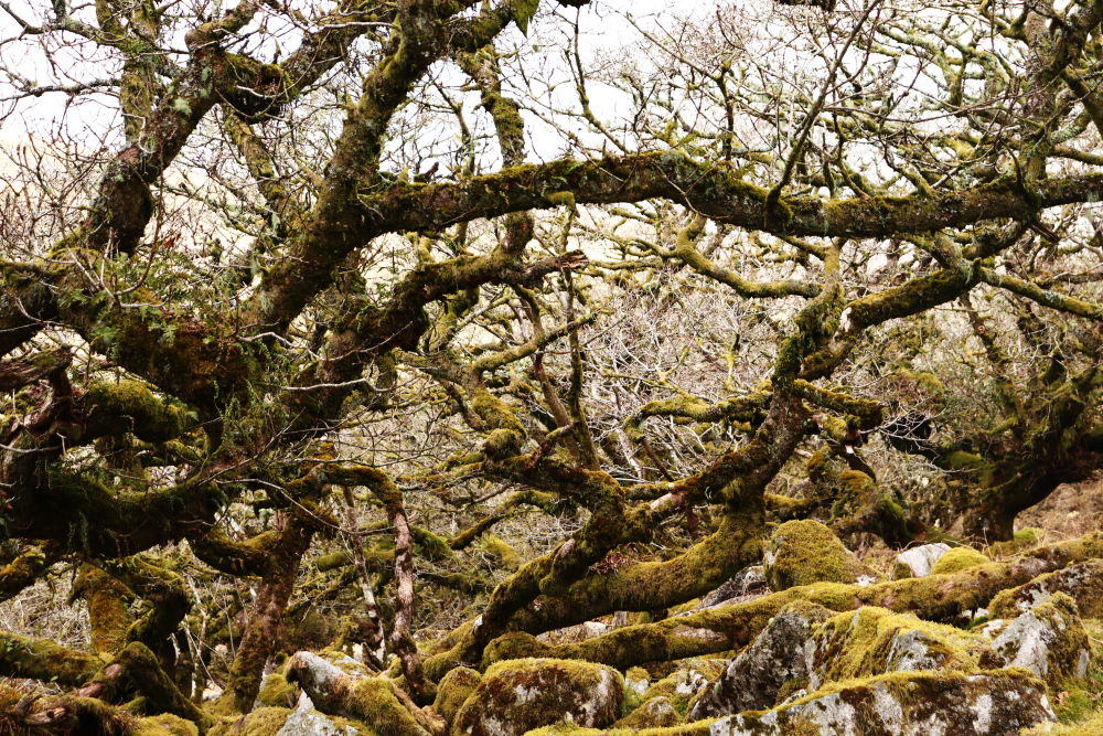 Stunted oak trees at Wistmans Wood