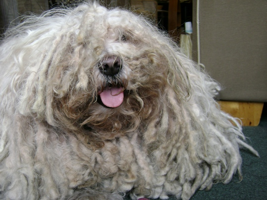 Bingo, the Puli!