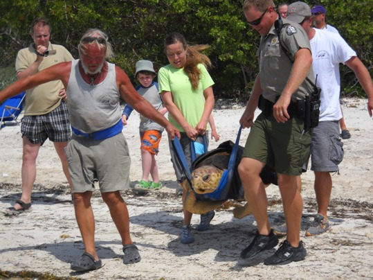 Several dozen well-wishers joined Turtle Hospital staff at Coco Plum beach as they transported the 200-pound turtle back to the ocean