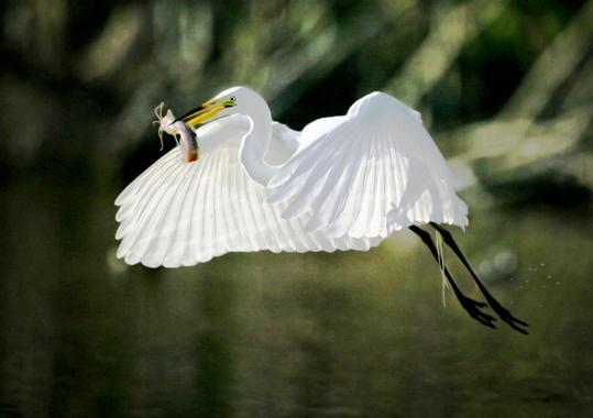 Great White Flight w Fish Mzarek