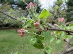 Another apple blossom